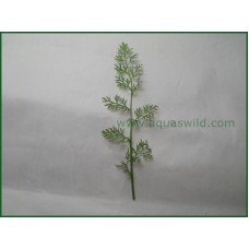 CHINESE FERN (Ceratopteris Sp. China)- 10 Stems