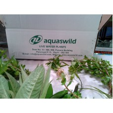 Package 2 - Live Water Plants Collections( 10 varieties)